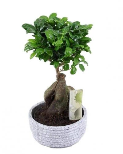 bonsai-ficus-ginseng-granite-pot-around